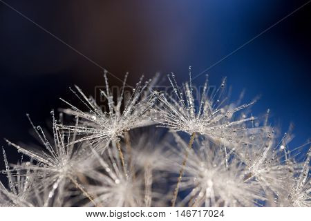 Dandelion Seeds Covered In Water Droplets Reaching For The Sky