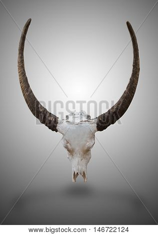 Buffalo skull and horn with clipping path.