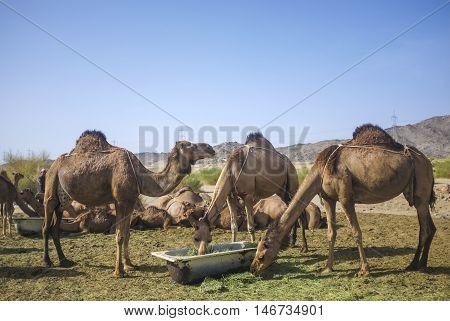 Camel in desert at Hudaibiyah Mecca Saudi Arabia.