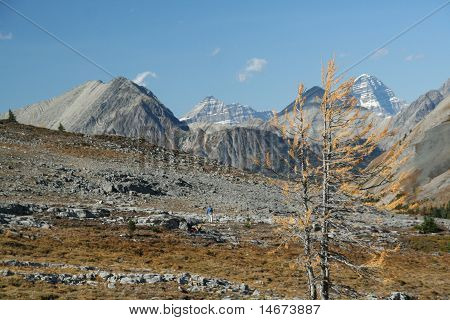 Lonely Larch, With Hikers