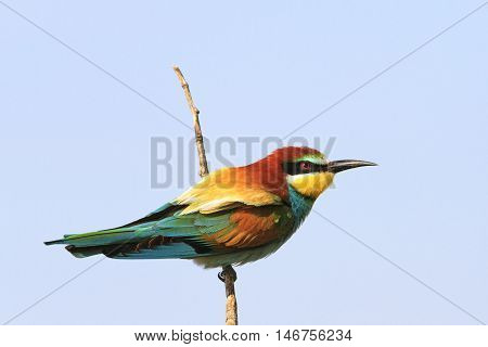 colorful bird on a branch, bee eater, bright color, rainbow