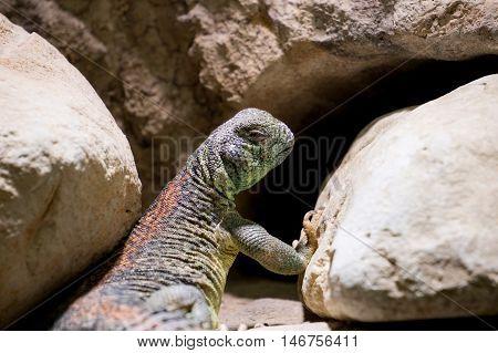 Omani spiny tailed Lizard lying on rocks