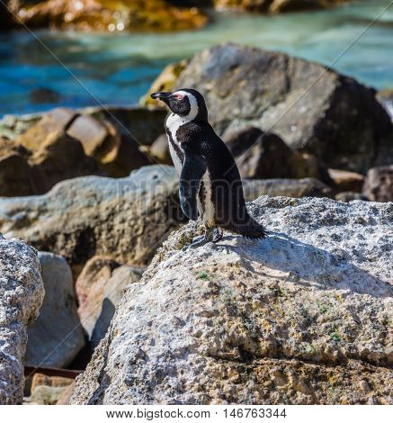 Boulders Penguin Colony. Huge boulders and black-white penguin on the beach of Atlantic Ocean. The concept of ecotourism