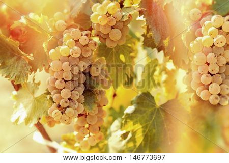 Grape Riesling (wine grape) on grapevine in vineyard lit by sunlight