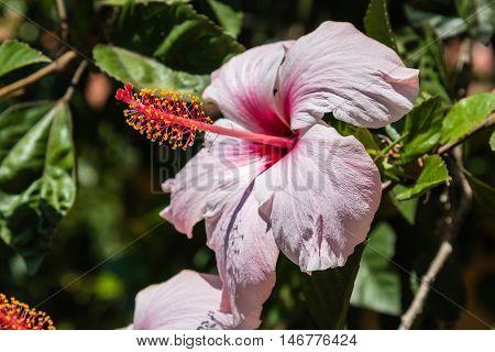 Pink Hibiscus Rosa-Sinensis: Beautiful Flowering Plant Nature Theme