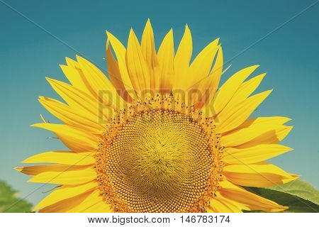 Sunflower at blue sky background. Agricultural business, sunflower oil production. Summer farming. Cultivated sunny field with bright yellow flowers.