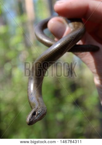 Somebody keeps slow worm (or Anguis fragilis) in hand. Slow worms are semifossorial (burrowing) lizards.