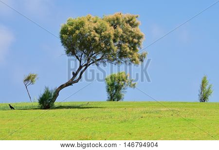 Solitary tree on the natural lawn at coastal area of Tel Aviv.