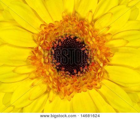 Perfect Yellow Gerbera Flowerhead Macro Closeup