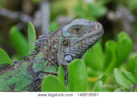 Green iguana sitting in on the top of green shrubbery.