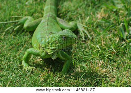 Brilliant bright green iguana creeping along in grass.
