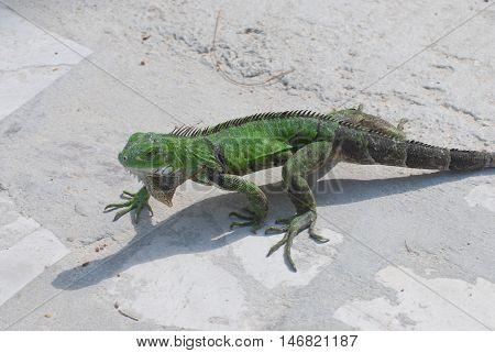 Green common iguana walking across a walkway.