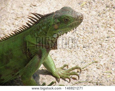 Green iguana walking along a pathway creeping