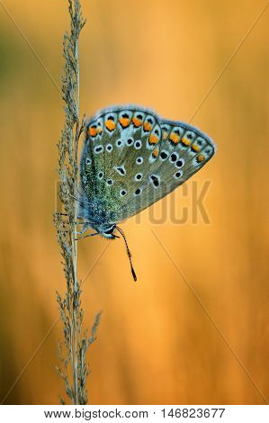 Polyommatus Icarus, Common Blue, Is A Butterfly In The Family Lycaenidae. Beautiful Butterfly Sittin