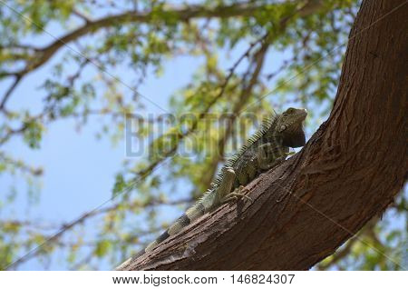 Green iguana creeping up a trunk on a tree.