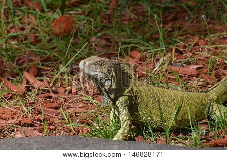 Common iguana creeping along in the wood chips and grass.