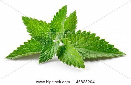 Melissa. Mint. Fresh leaves isolated on white background