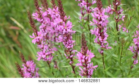 the  blossom, flower purple crybaby grass close to