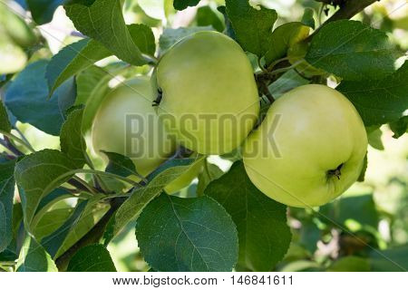 Fresh green apples growing on tree ready for harvesting.