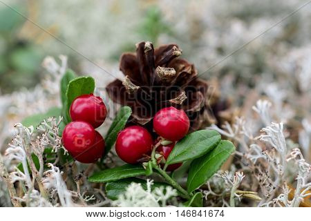 closeup shot of lingon berries with pine cone in background.