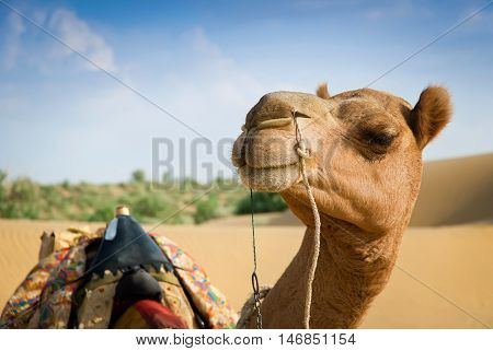 Smiling camel looking in lens. Soft focus