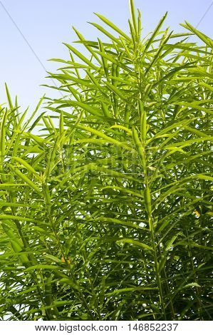 fresh green oleander tree in nature garden