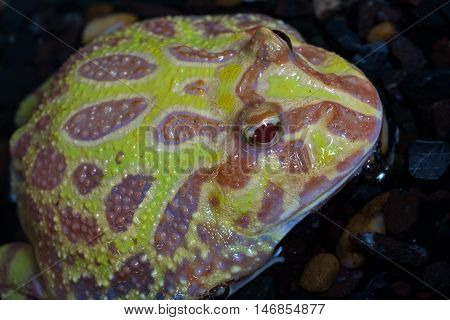 Albino Pac-Man Frog Horned Frog (Ceratophrys ornata) in the tank poster
