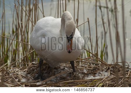 A Mute Swan ( Cygnus olor ) tends her eggs in a pond near the River Tay in Perthshire Scotland UK