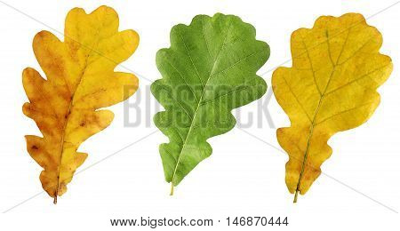 Yellow and green autumn oak leaves isolated on white background. Herbarium.