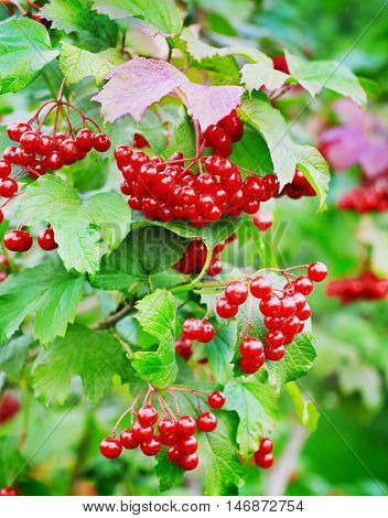 Red berries of viburnum on a branch with leaves outdoor.
