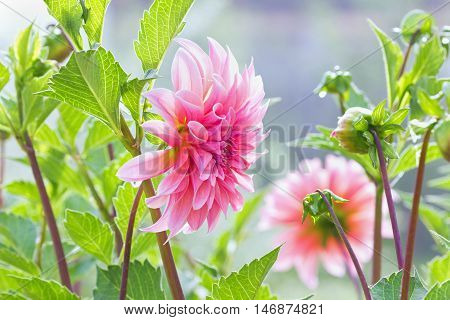 Beautiful autumn flowers dahlia in the garden.