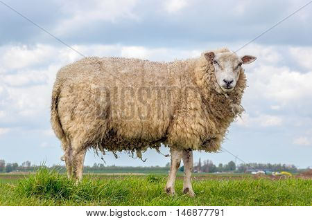 Sheep in winter coat is standing alone on top of a dike in the Netherlands. It is springtime now.