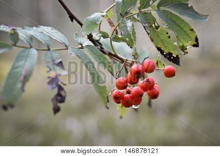 wild mountain ash after a rain forest