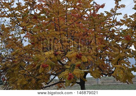 autumn mountain ash tree, berries, red, yellow, gold, golden autumn, juicy, red berry