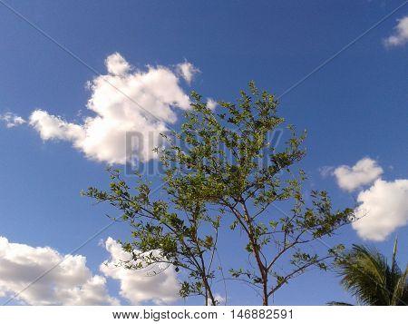 Pinheiro pinha ata em contraste com céu azul e nuvens.