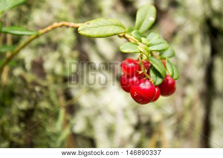 Red ripe lingonberries in forest blurred background