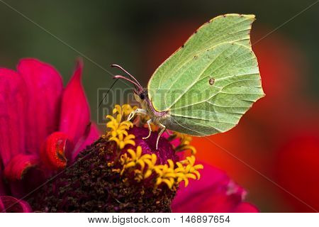 Butterfly common brimstone on the flower. Macro photography of nature.