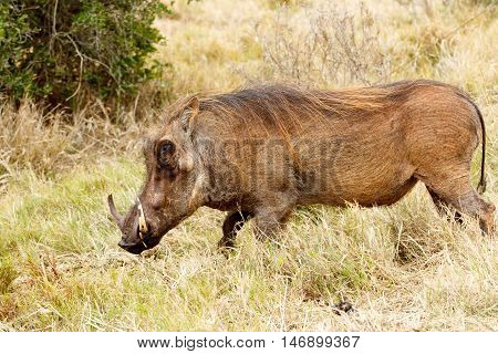 Great Weed I Am The Common Warthog