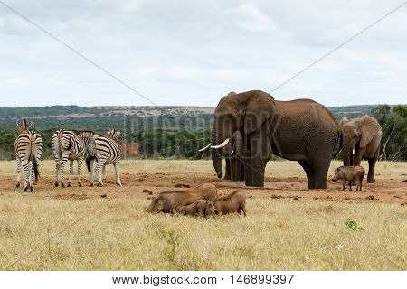 The Big Boss The African Bush Elephant