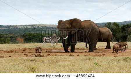 My Water Again African Bush Elephant