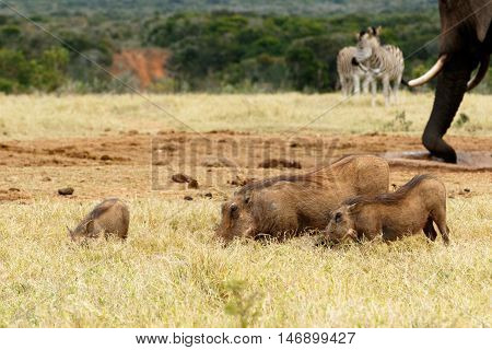 Family Of Warthog Eating Grass