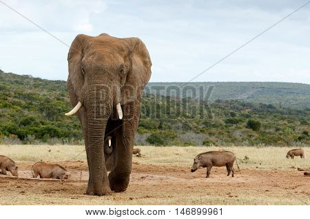African Bush Elephant Coming Closer And Closer