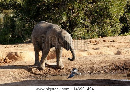 It Is My Water The African Bush Elephant