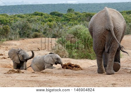 Come Kids - African Bush Elephant Family