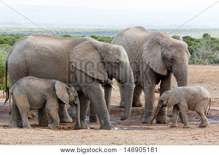 The Love Of The Family Off African Bush Elephant