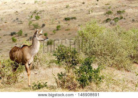 Kudu Lady Looking For Love - Tragelaphus Strepsiceros