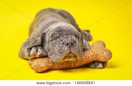 Beautiful young grey puppy italian mastiff cane corso (1 month) sleeping on toy bone on yellow background