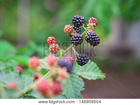 Tasty berry of blackberries growing in the garden. Close-up