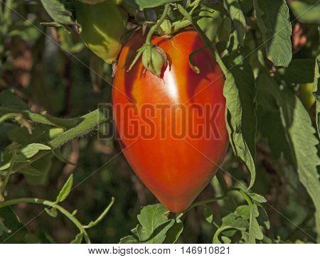 Ripe organic Tomato from my garden in fall