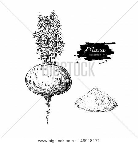 Maca plant and powder vector superfood drawing. Isolated hand drawn illustration on white background. Organic healthy food. Great for banner poster label sign